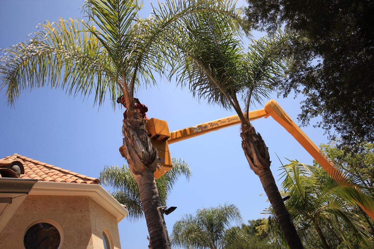 Palm Tree Trimming-Augusta Tree Trimming and Stump Grinding Services-We Offer Tree Trimming Services, Tree Removal, Tree Pruning, Tree Cutting, Residential and Commercial Tree Trimming Services, Storm Damage, Emergency Tree Removal, Land Clearing, Tree Companies, Tree Care Service, Stump Grinding, and we're the Best Tree Trimming Company Near You Guaranteed!